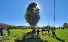 large maples planting